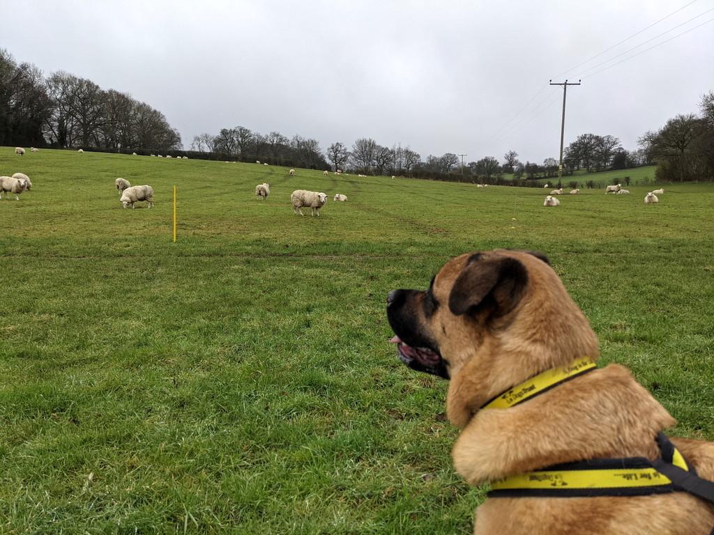 Sheepz by bulldog
