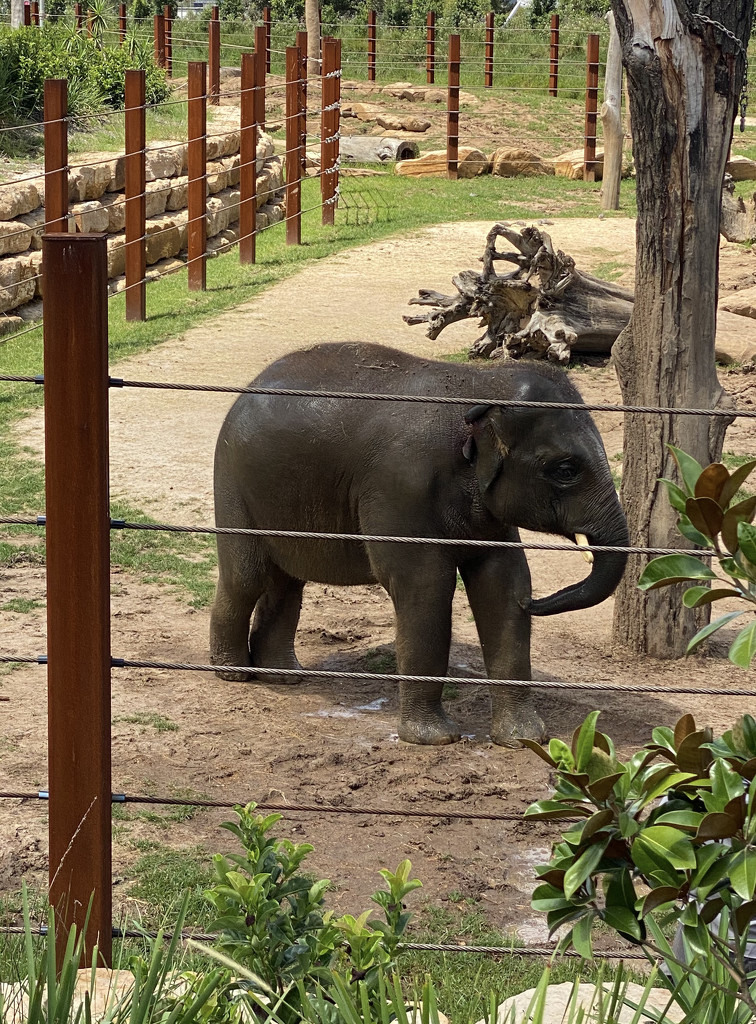 Asian Elephant by kjarn