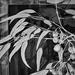 Euclyptus caesia, Silver Princess