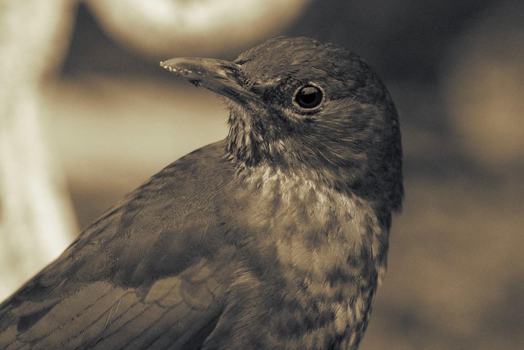 PORTRAIT OF MRS BLACKBIRD by markp