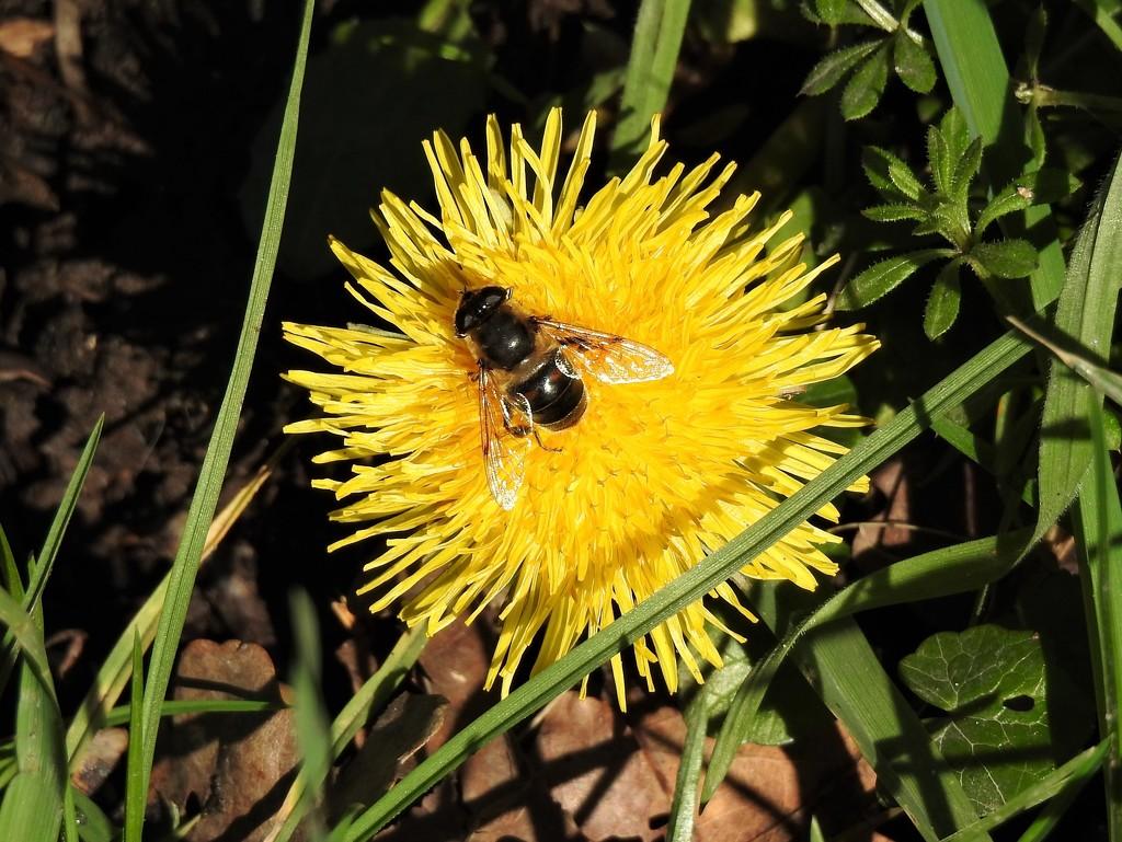 An Early Bee  by susiemc