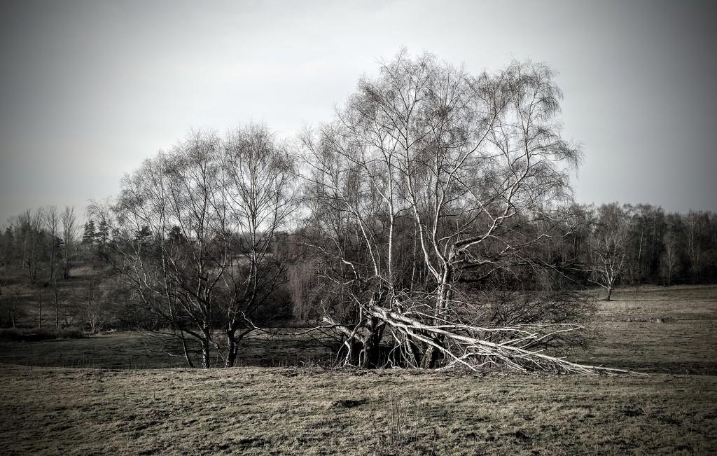 Birch by runner365
