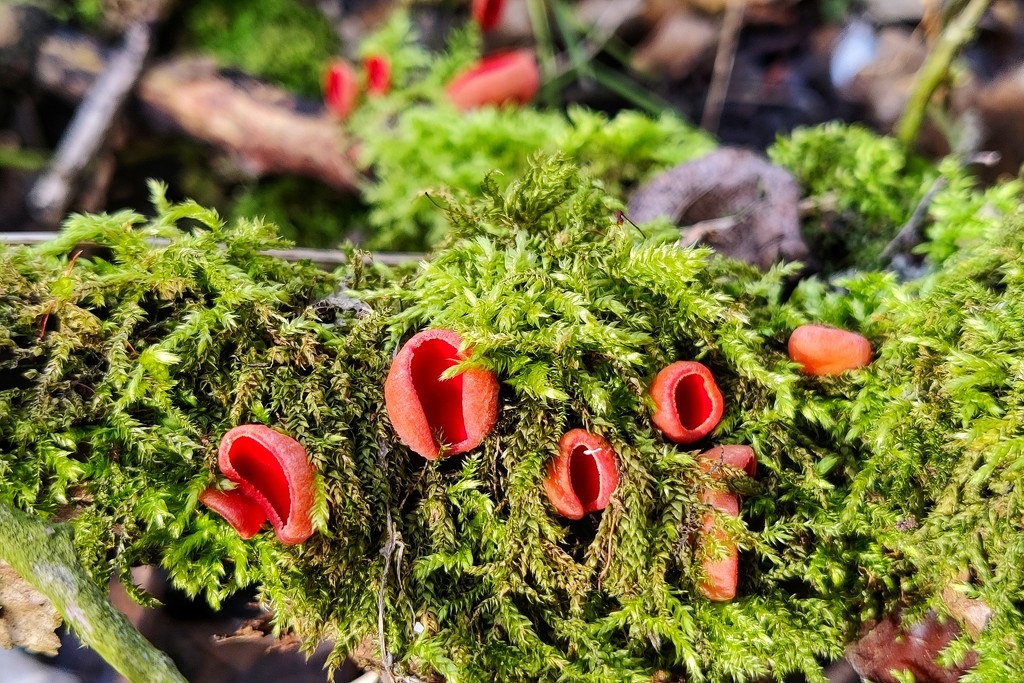 Scarlet Elf Cup by geertje