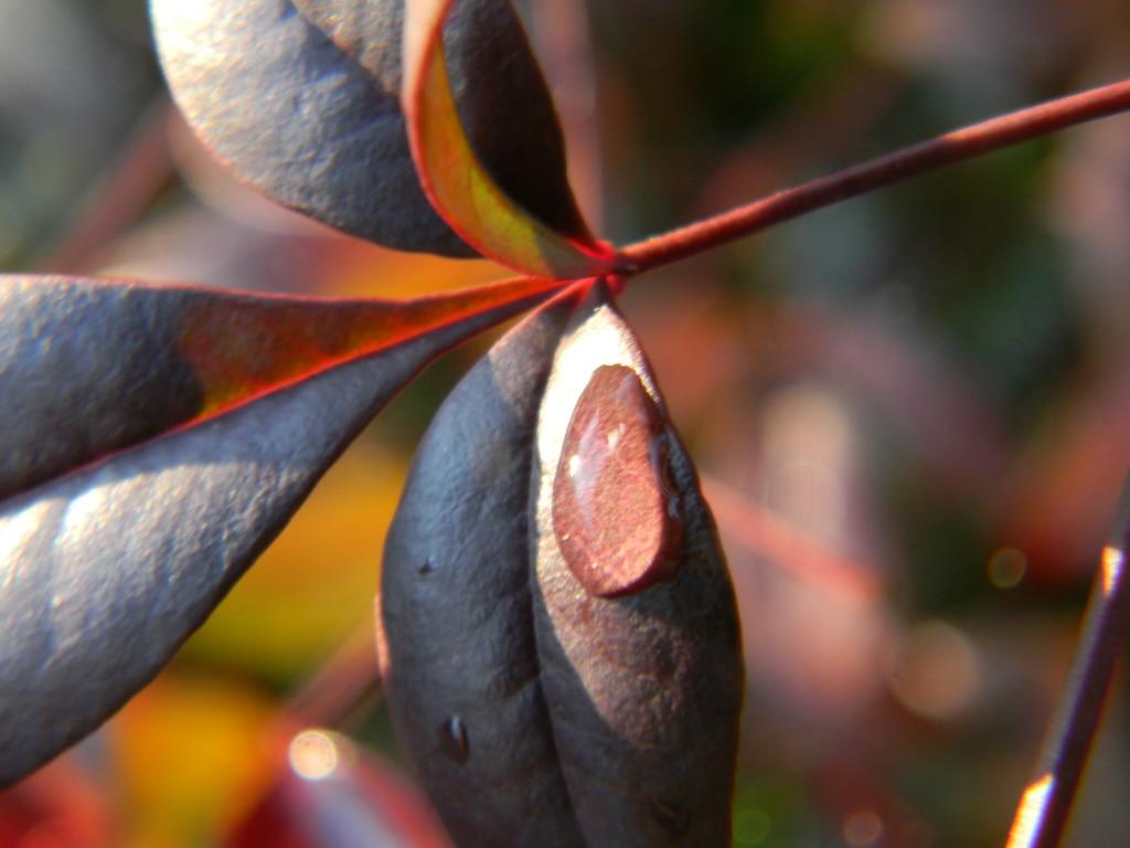 Raindrop on Nandina Plant Leaf by sfeldphotos