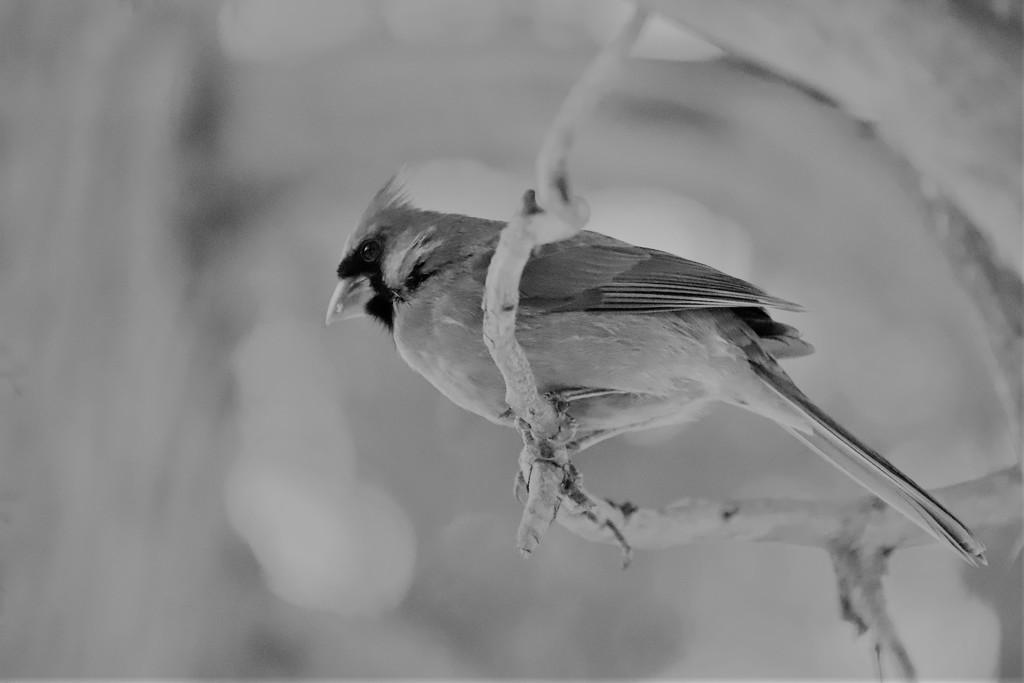 Cardinal  by randy23
