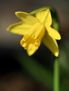 22nd Feb 2021 - The First of the Narcissi