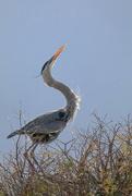 22nd Feb 2021 - Heron showing off
