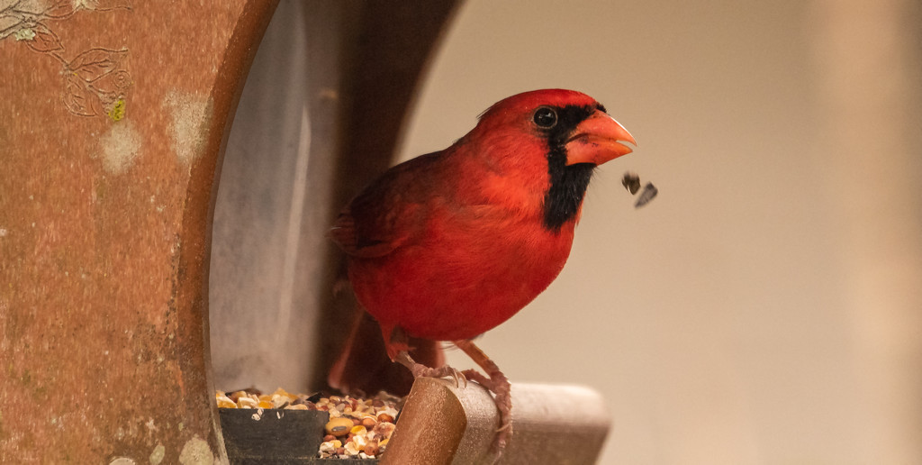 Mr Cardinal Spitting Out the Seeds! by rickster549