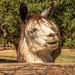 Lamas have crazy hairdo's too