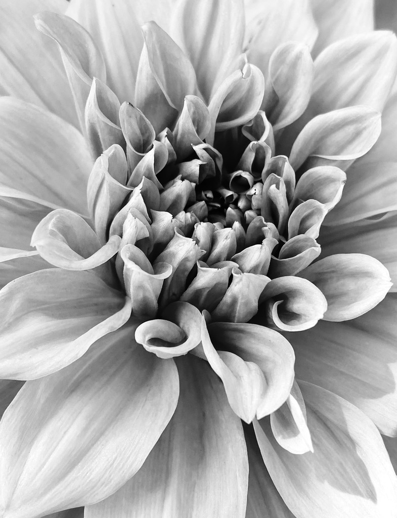 Dahlia in Black and White by nicolecampbell