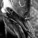 FoR Cassowary