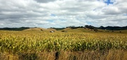23rd Feb 2021 - Maize Fields..
