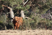 23rd Feb 2021 - A Highland Coo emerging from the broom