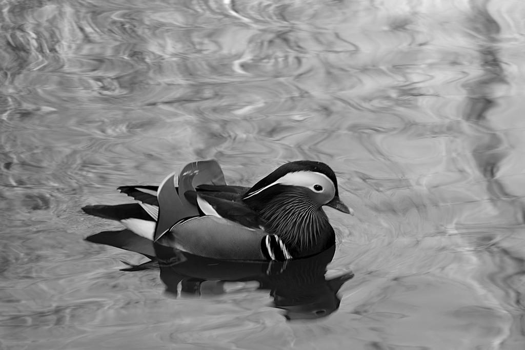 Aluminium Duck by 30pics4jackiesdiamond