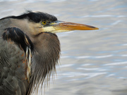 23rd Feb 2021 - Blue Heron