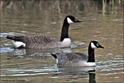 23rd Feb 2021 - Canada Geese
