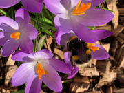 22nd Feb 2021 - Bumble Bee