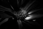 22nd Feb 2021 - daisy noir
