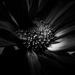 daisy noir