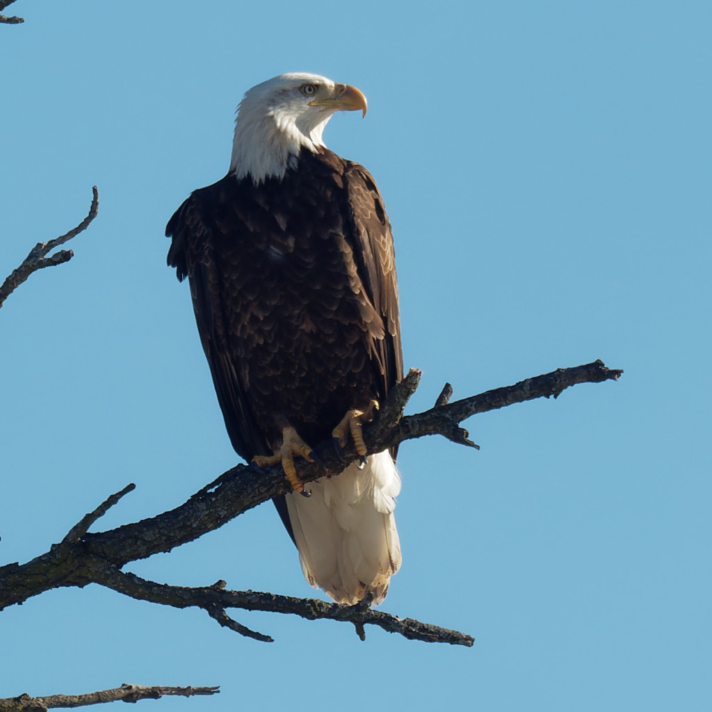 Bald eagle  by rminer