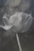 22nd Feb 2021 - Tulip