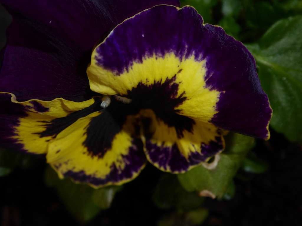 Winter Pansy by snowy