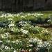 Snowdrop Graveyard
