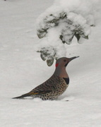 23rd Feb 2021 - Another view of the Northern Flicker