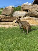 24th Feb 2021 - Wallaby