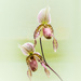 Phragmipedium Orchid 55/365 by dora