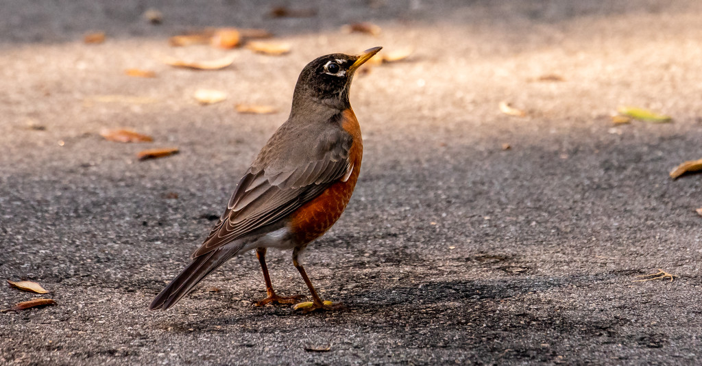 Robin, Trying to Decide Whether or Not to Fly! by rickster549
