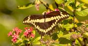 23rd Feb 2021 - Giant Swallowtail Butterfly!