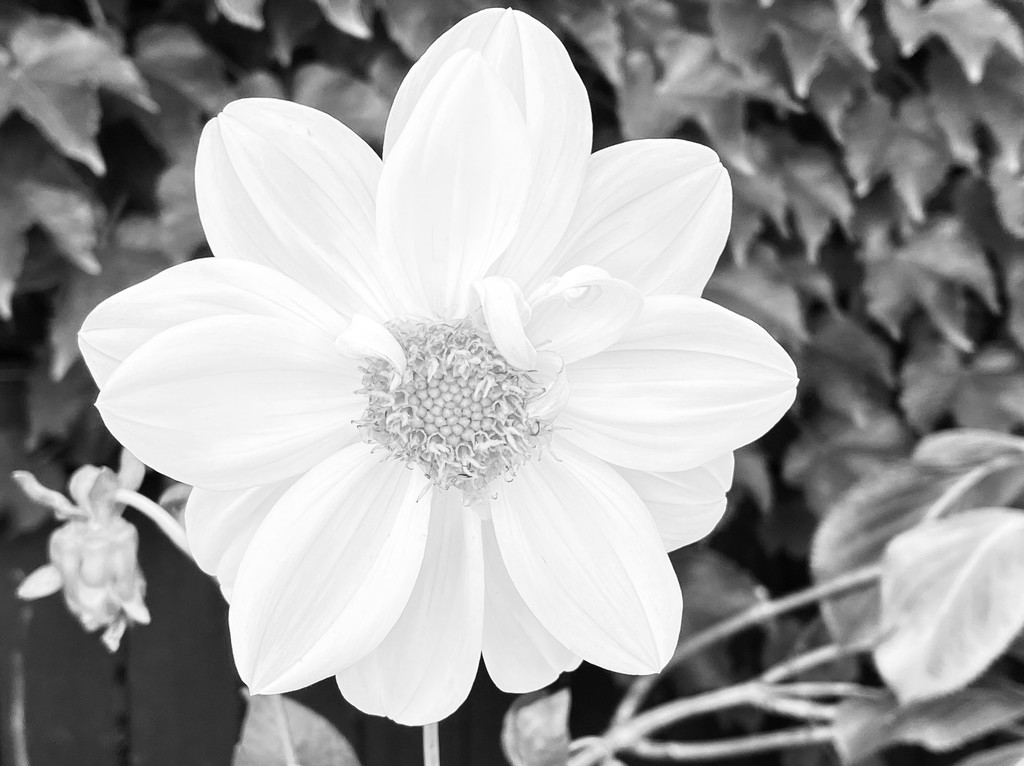 Dahlia take two  by nicolecampbell