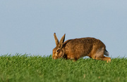 24th Feb 2021 - Hare today