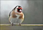 24th Feb 2021 - Podgy goldfinch