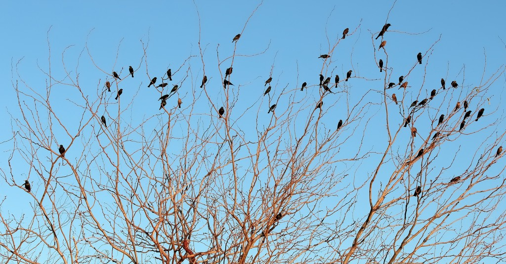 redwing blackbirds and starlings by blueberry1222