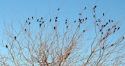 24th Feb 2021 - redwing blackbirds and starlings