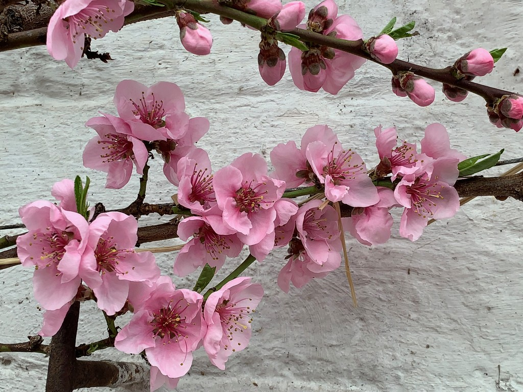 Peach Blossom by 365projectmaxine