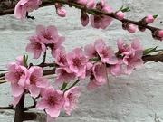 24th Feb 2021 - Peach Blossom