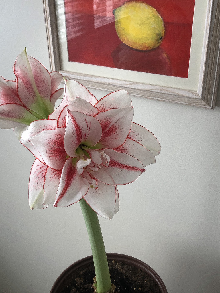Amaryllis in Bloom by ginnys