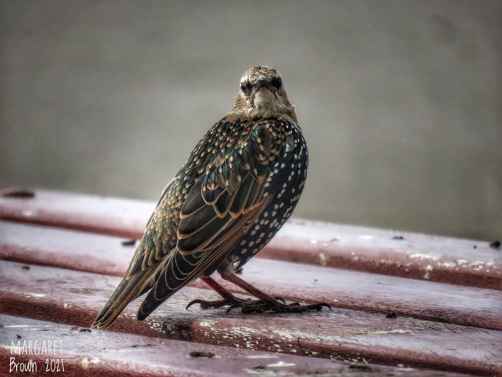 Juvenile Starling by craftymeg