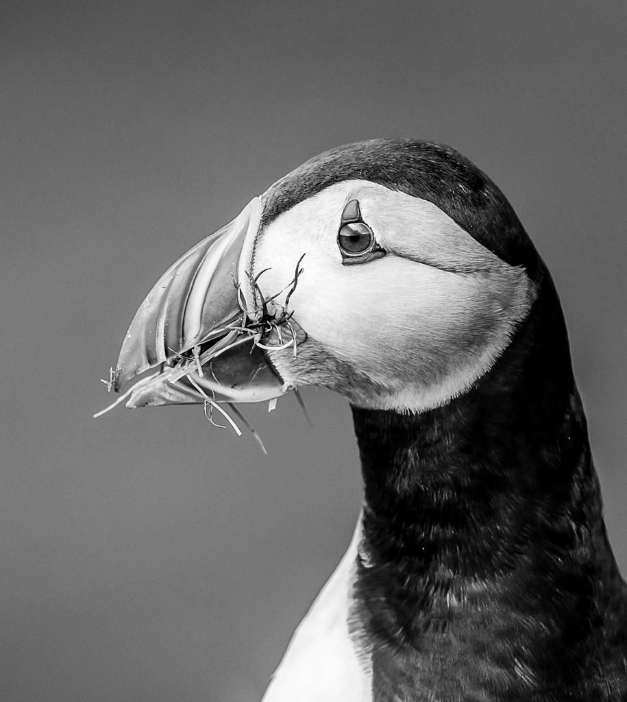 Puffin Portrait by inthecloud5