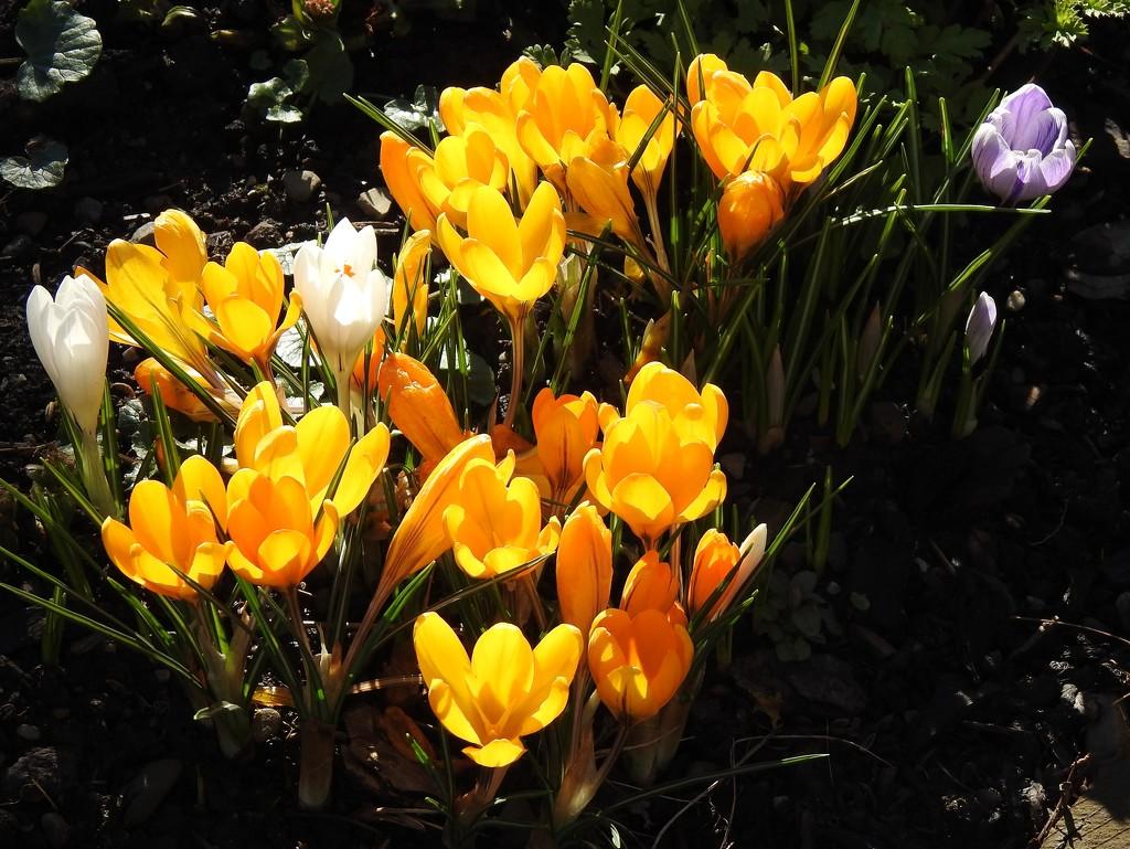 Crocus in the Garden  by susiemc