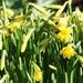 daffodil panorama