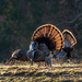 Tom Turkey in Cades Cove by dridsdale