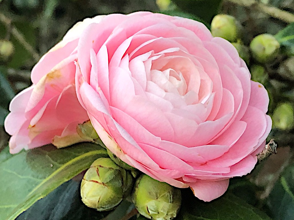 Pink perfection camellia by congaree