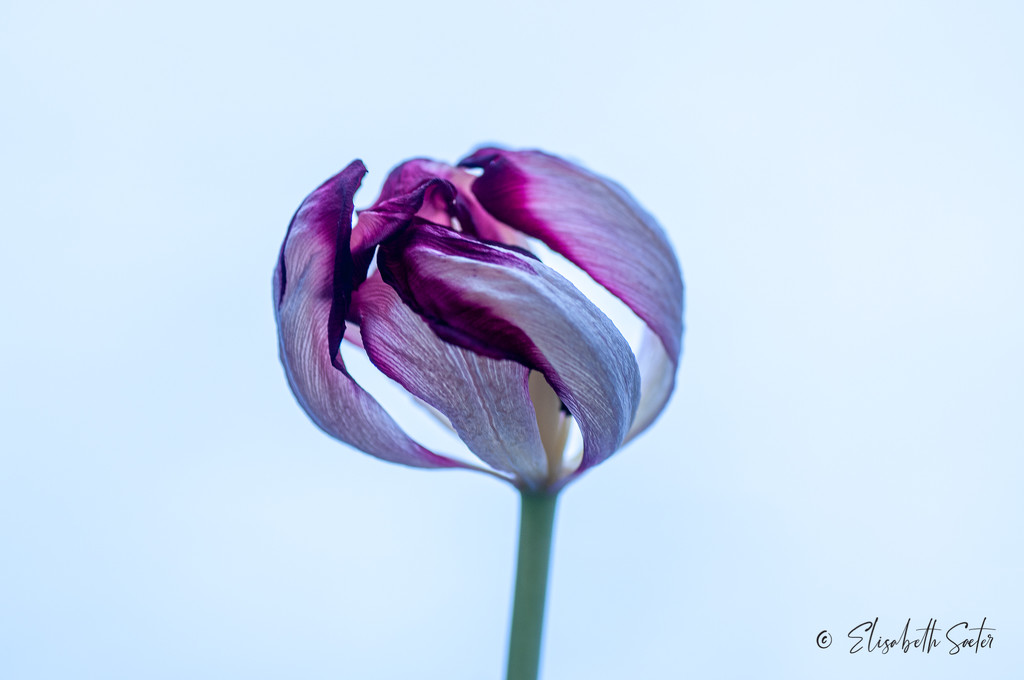 More withered tulip by elisasaeter