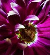 24th Feb 2021 - Chrysanthemum