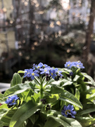 23rd Feb 2021 - Forget me not