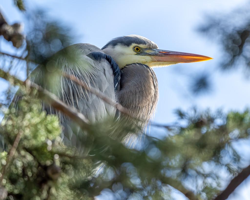 Great Blue Heron by nicoleweg